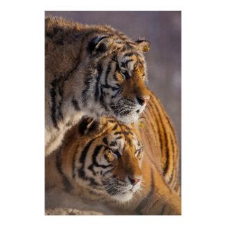 Two Siberian tigers together, China Poster