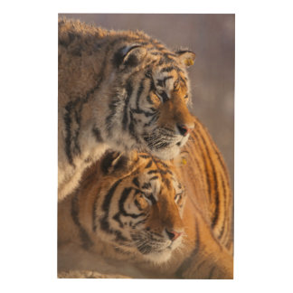 Two Siberian tigers together, China Wood Print