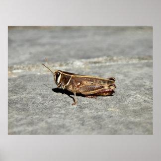 Two-Striped Grasshopper Poster
