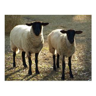Two Suffolk Sheep Afternoon Sunlight Postcard