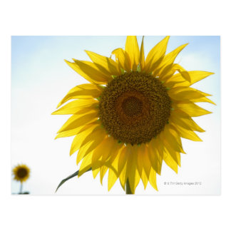 Two sunflowers in field, Tuscany, Italy Postcard