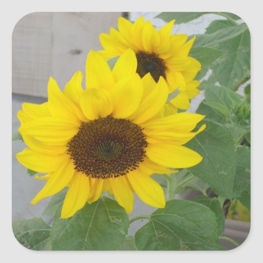 Two sunflowers stickers