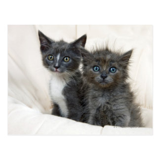 Two tabby kittens postcard