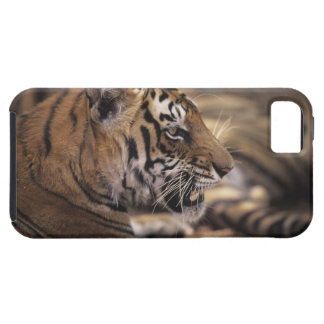 Two tigers (Panthera tigris) lying down, iPhone 5 Case