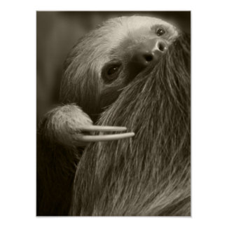two toed sloth poster