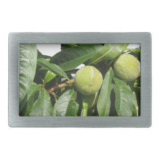 Two unripe green peaches hanging on a peach tree belt buckle