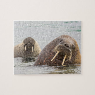 Two walruses in water, Norway Jigsaw Puzzle