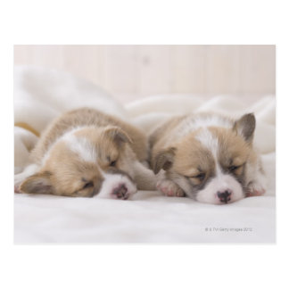 Two Welsh Corgi Sleeping Postcard