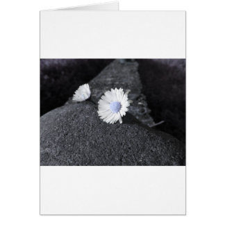 Two white daisies lying on the stone at sunset card