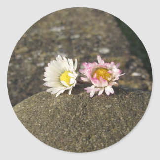 Two white daisies lying on the stone at sunset classic round sticker
