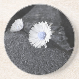 Two white daisies lying on the stone at sunset coaster