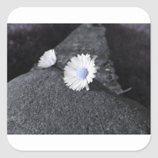 Two white daisies lying on the stone at sunset square sticker