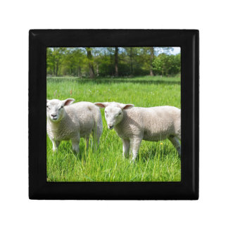 Two white dutch sheep in green spring meadow gift box