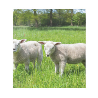 Two white dutch sheep in green spring meadow notepad