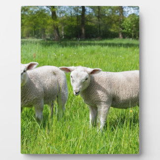 Two white dutch sheep in green spring meadow plaque