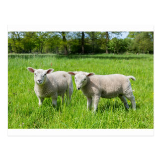 Two white dutch sheep in green spring meadow postcard