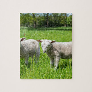Two white dutch sheep in green spring meadow puzzle