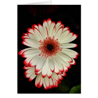 Two White Gerbera Daisies Card