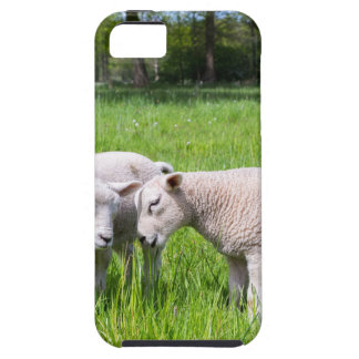 Two white lambs playing together in green meadow iPhone 5 cases