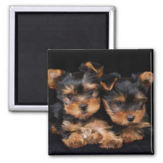 Two yorkies on black square magnet