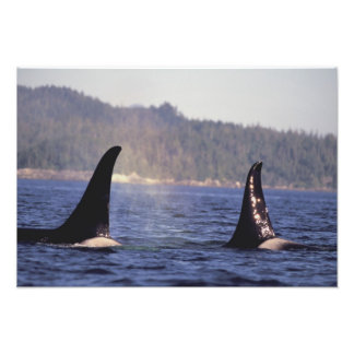 U.S.A., Alaska, Inside Passage Surfacing Orca Photo Print