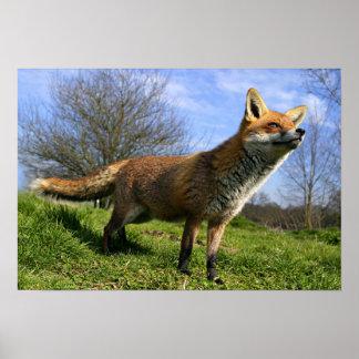 UK, England. Red Fox Vulpes vulpes) in Poster
