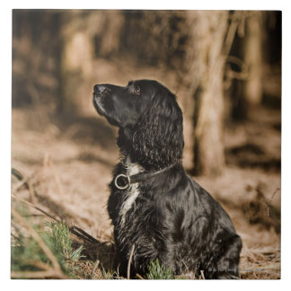 UK, England, Suffolk, Thetford Forest, Spaniel Tile