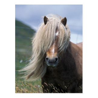 UK, Scotland, Shetland Islands, Shetland pony Postcard