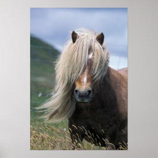 UK, Scotland, Shetland Islands, Shetland pony Poster