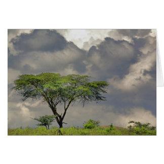 Umbrella Thorn Acacia, Acacia tortilis, and 2 Card