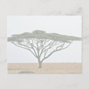 Umbrella Thorn Acacia Tree Gifts On Zazzle Ca
