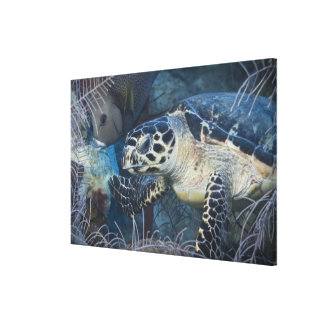 Underwater Life: A Hawksbill Sea Turtle 2 Canvas Print