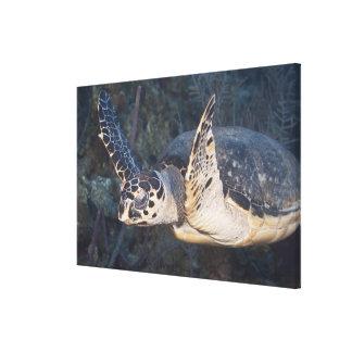 Underwater Life: A Hawksbill Sea Turtle Canvas Print
