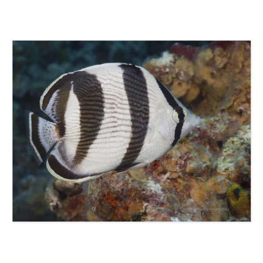 Underwater Life; FISH:  A Banded Butterflyfish Postcard