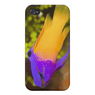 Underwater Life, FISH: a colorful Fairy Basslet iPhone 4/4S Case