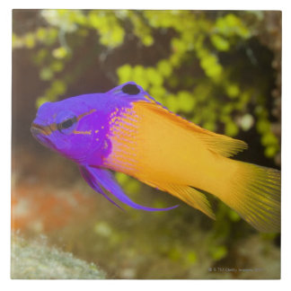 Underwater Life, FISH:  a colorful Fairy Basslet Tile