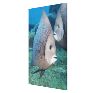 Underwater Life, FISH:  a pair of Gray Angelfish Canvas Print