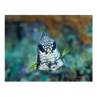 Underwater view of Smooth Trunkfish (Lactophrys Postcard