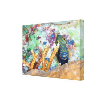 Undulate Triggerfish Canvas