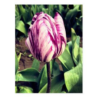 Unique Purple & White Stripe Tulip Postcard