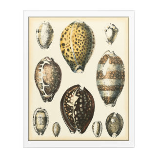 Uniquely Shaped Seashells Acrylic Print