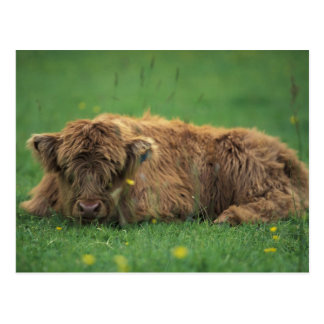 United Kingdom, Scotland. Highland calf Postcard