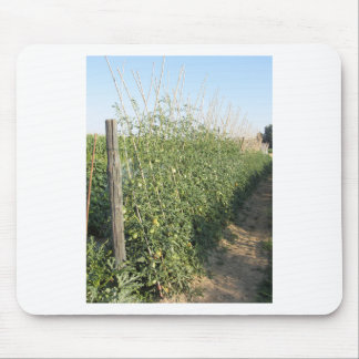 Unripe green tomatoes in the garden mouse pad