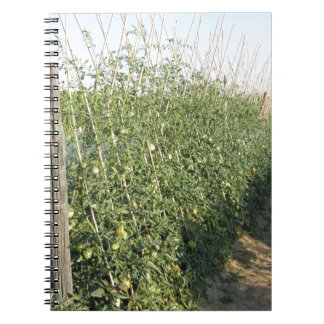 Unripe green tomatoes in the garden spiral note books