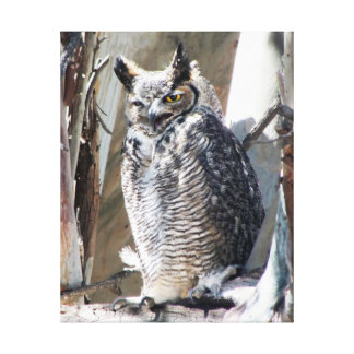 Unusual Great Horned Owl Fledgling Female Stretched Canvas Print