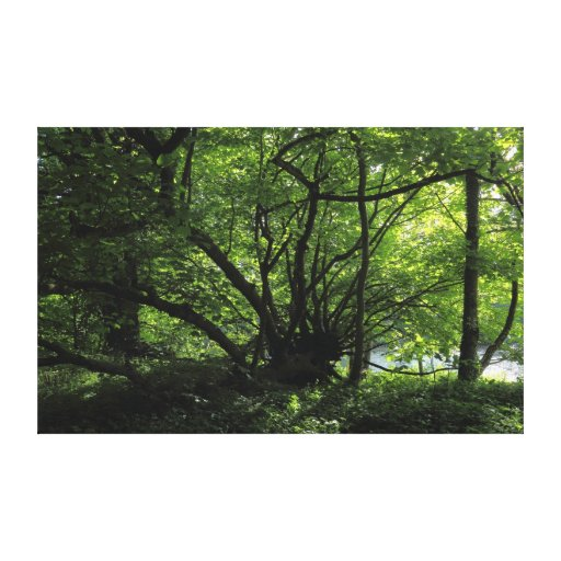 Unusual Tree, Bute Park, Cardiff, Wales Gallery Wrap Canvas