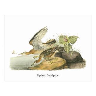 Upland Sandpiper, John Audubon Postcard