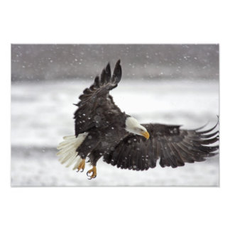USA, Alaska, Alaska Chilkat Bald Eagle Photographic Print