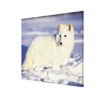 USA, Alaska. Arctic fox in winter coat. Credit Stretched Canvas Print
