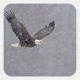 USA, Alaska, Chilkat Bald Eagle Preserve. Bald Square Sticker